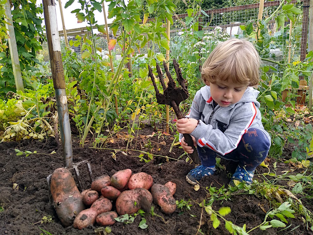 3 year old digging up potatoes - nipitinthebud.co.uk