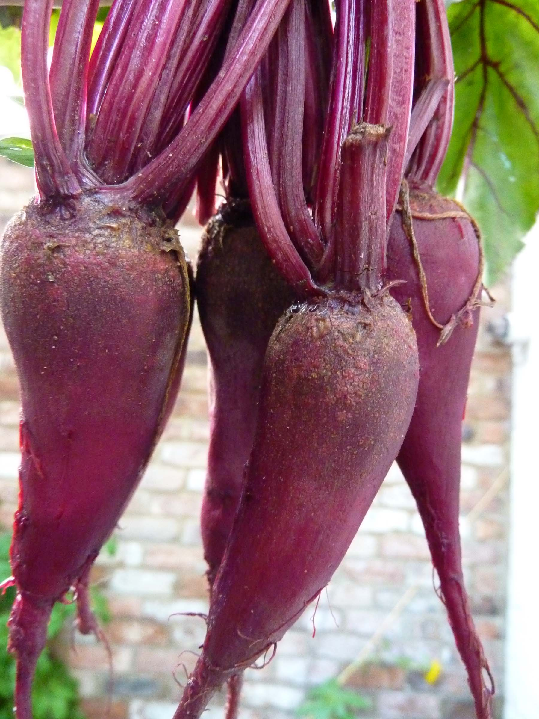 Beetroot-first picking close up
