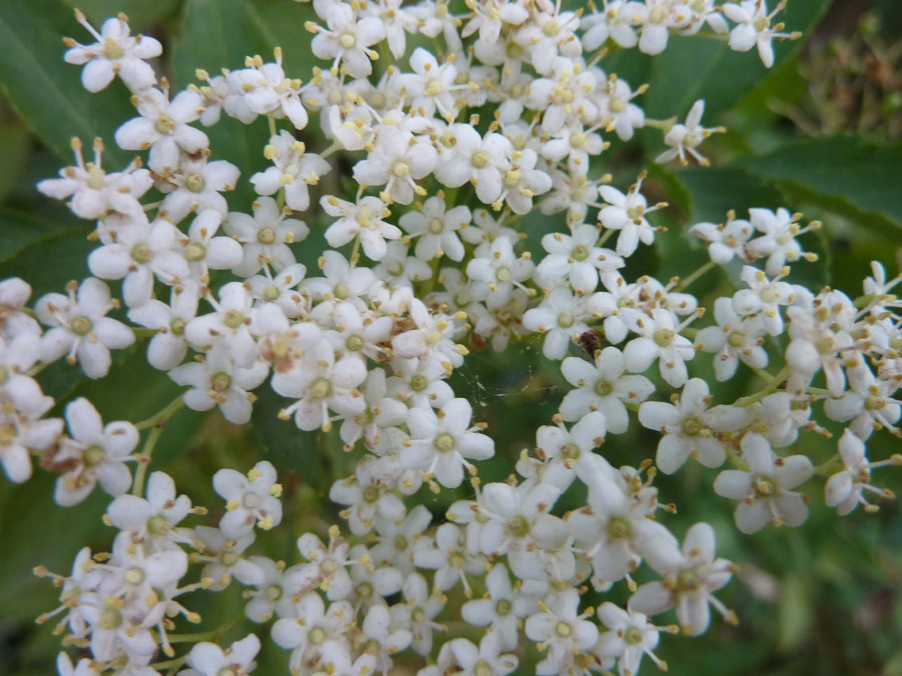 making elderflower cordial for the first time