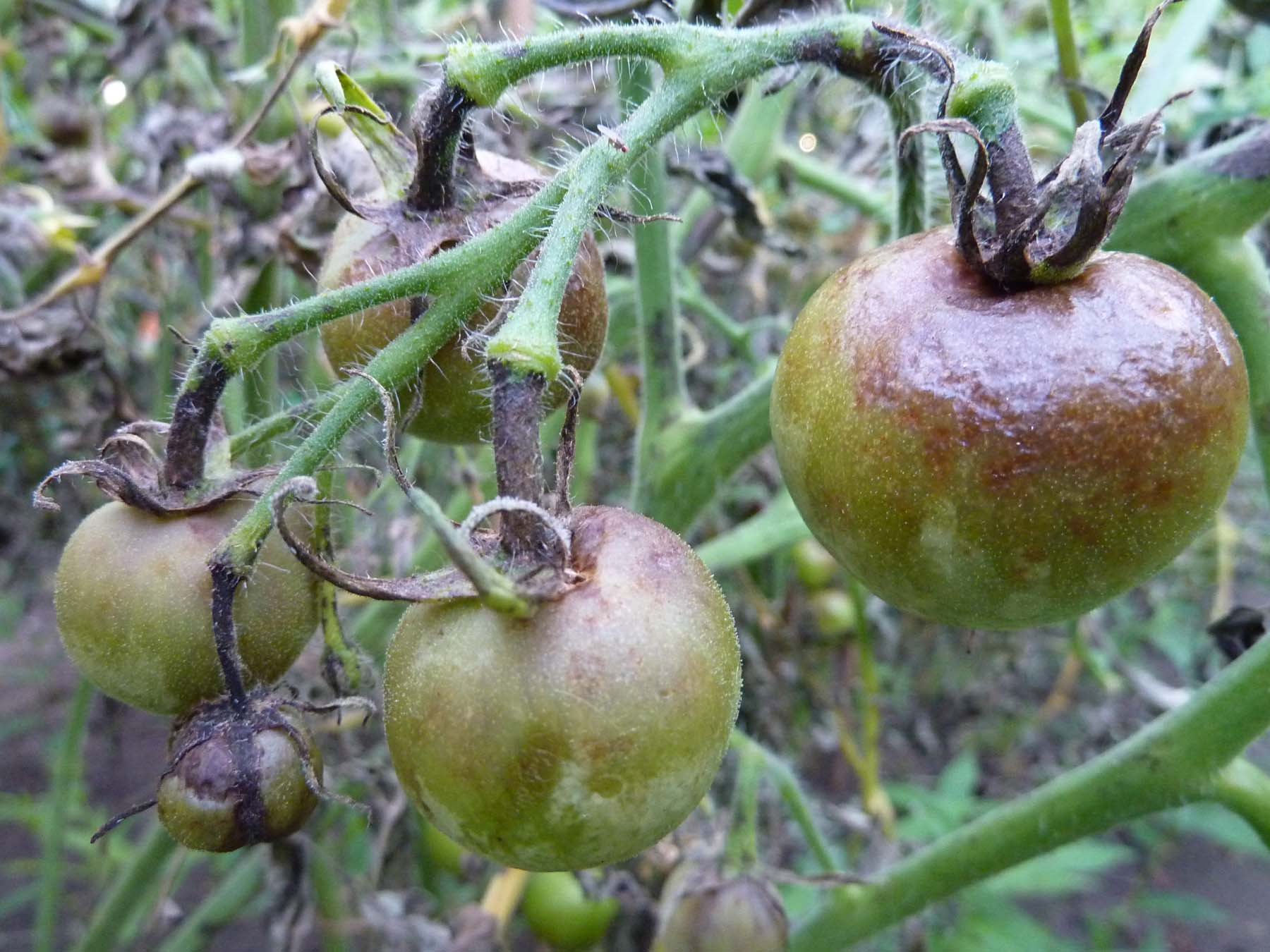 Tomato blight - second stage close up
