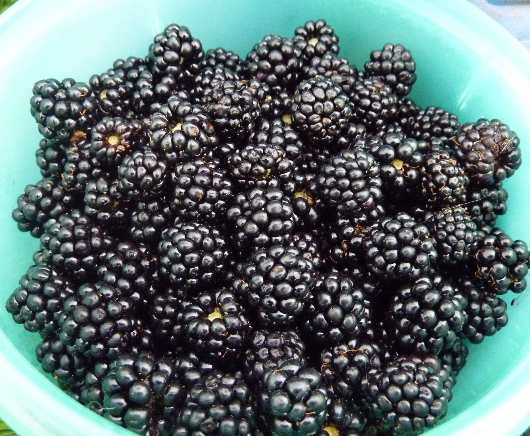 blackberries from the playground