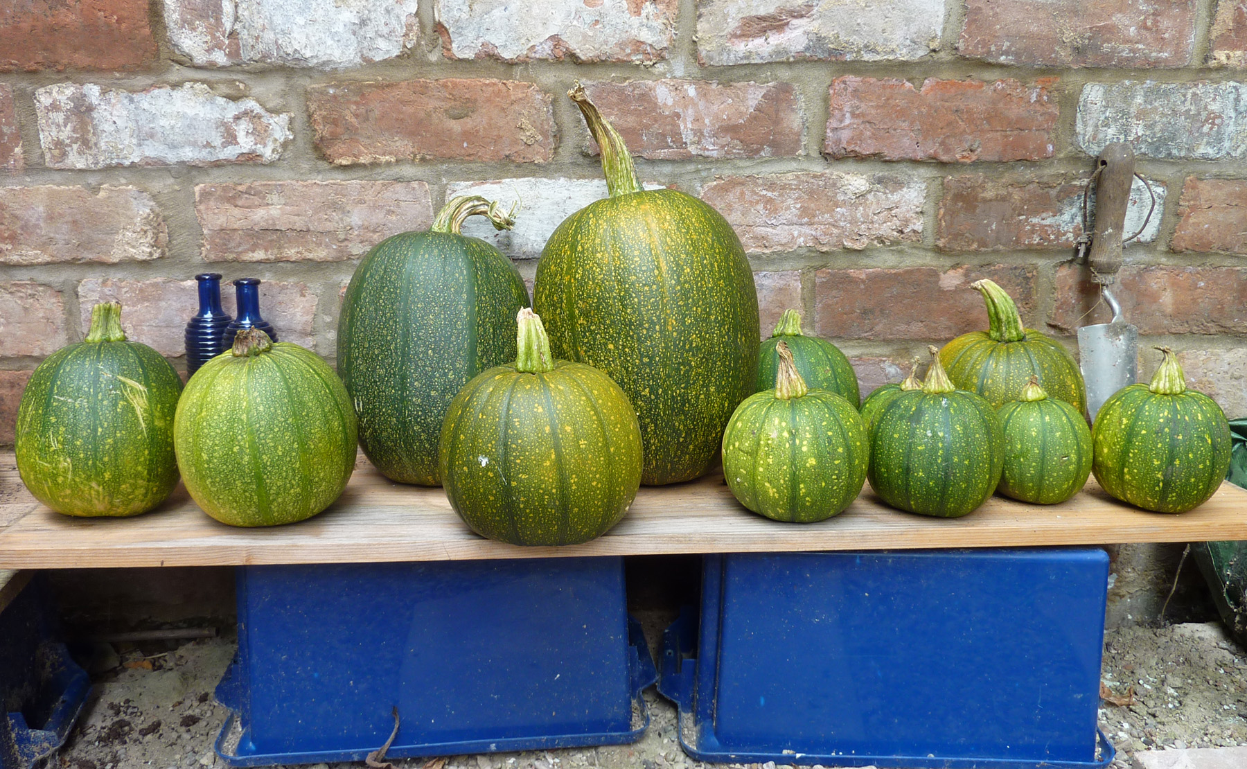 pumpkins ripening in the yard