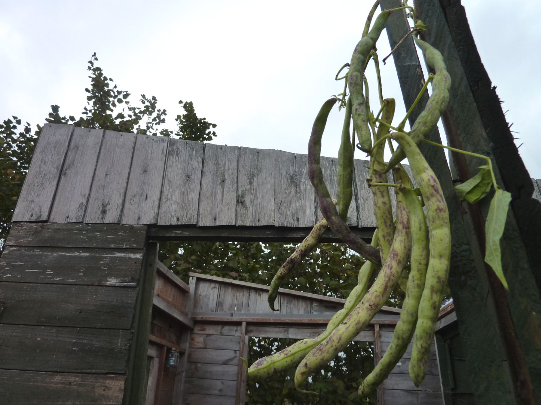 dwarf beans on shed door