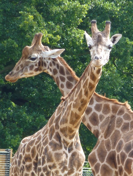G is for …George, giraffes and growing veg
