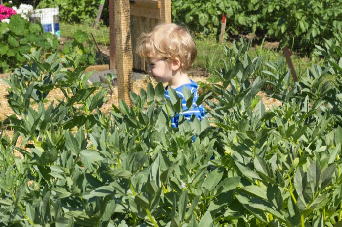 allotment toddler in the broad beans - nipitinthebud.co.uk